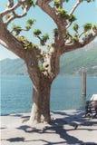 Ascona Tree. A tree in Ascona, Switzerland Stock Photos