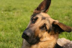Ascot. German shepherd with a sad look Stock Photos