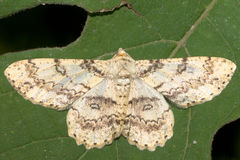 Ascotis selenaria / The Giant looper moth Royalty Free Stock Image