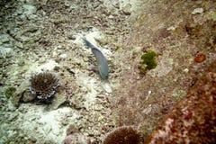 Ascua o pez papagayo del redlip imagenes de archivo