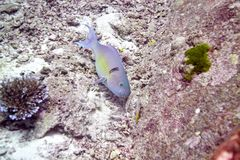 Ascua o pez papagayo del redlip fotografía de archivo libre de regalías