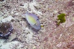 Ascua o pez papagayo del redlip imagen de archivo libre de regalías