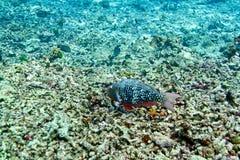 Ascua o pez papagayo del redlip imágenes de archivo libres de regalías