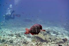 Ascua o pez papagayo del redlip foto de archivo libre de regalías