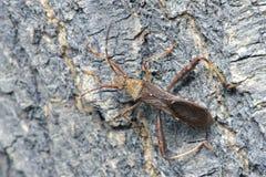 Asesino Bug Fotos de archivo