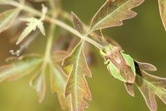 Asesino Bug Foto de archivo libre de regalías