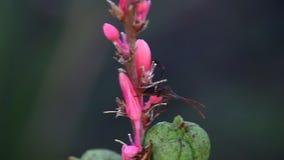 Asesino Bug en un upclose rojo de la flor de la yuca almacen de video