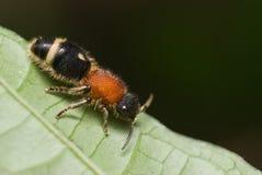 Asesino de la vaca del aka de la hormiga del terciopelo Imagen de archivo libre de regalías