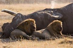 Asesinos del elefante de Savute Foto de archivo
