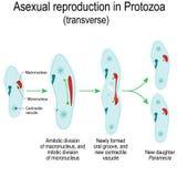 Asexuell reproduktion i urdjur Parameciauppdelning vektor illustrationer