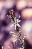 Asfodelo ramificato nella primavera Fotografia Stock