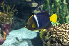 Asfur Angelfish Pomacanthus asfur - coral fish. Detail stock photos