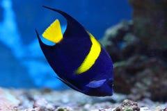 Asfur Pomacanthus Крупный план ангела тропических рыб арабский Стоковое фото RF