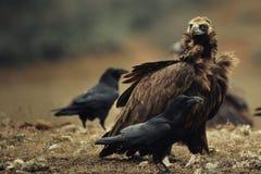 Asgrauwe monachus van gieraegypius en Raven Corvus corax stock foto's