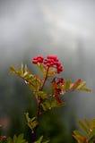 ash гора ягод стоковые изображения