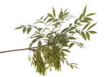 Ash. Branch of the ash tree with fruit on white backgroud Royalty Free Stock Photos