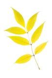 Ash. Autumn ash leaf isolated on white background Royalty Free Stock Images