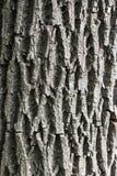Ash bark Royalty Free Stock Photo