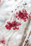 Ash berries in snow Stock Photo
