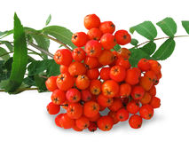 Ash-berry Royalty Free Stock Photography