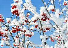 Ash-berry branches under snow Royalty Free Stock Image