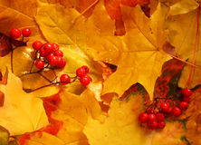 Ash berry clusters on autumn yellow maple leaves Royalty Free Stock Photography