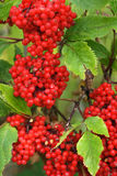 Ash Berry Tree Royalty Free Stock Photos