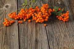 Ash-berry on a wooden background. Autumn berry. Bunch of Rowan Stock Image