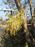 Ash-tree. The ash blooms in the spring Royalty Free Stock Photo
