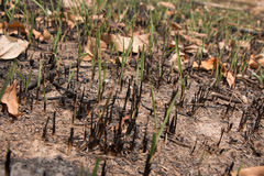 Ash and burned grass field ground after fire. Deforest problem and fire for agriculture. Green house effect, global warming, and  elnino effect` problem Stock Photography