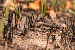 Ash and burned grass field ground after fire. Deforest problem and fire for agriculture. Green house effect, global warming, and  elnino effect` problem Royalty Free Stock Images