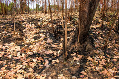 Ash and burned tree after fire. Deforest problem and fire for agriculture by farmer. Green house effect, global warming, and elnino effect` problem Stock Image