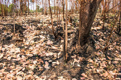 Ash and burned tree after fire. Deforest problem and fire for agriculture by farmer. Green house effect, global warming, and elnino effect` problem Stock Images