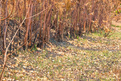 Ash and burned tree after fire. Deforest problem and fire for agriculture by farmer. Green house effect, global warming, and elnino effect` problem Royalty Free Stock Images