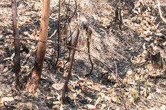 Ash and burned tree after fire. Deforest problem and fire for agriculture by farmer. Green house effect, global warming, and elnino effect` problem Royalty Free Stock Photos
