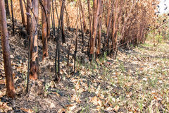 Ash and burned tree after fire. Deforest problem and fire for agriculture by farmer. Green house effect, global warming, and  elnino effect` problem Royalty Free Stock Photography