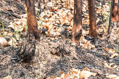 Ash and burned tree after fire. Deforest problem and fire for agriculture by farmer. Green house effect, global warming, and  elnino effect` problem Stock Photo