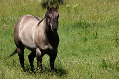 Ash colored horse. In a meadow Stock Photography
