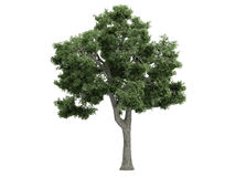 Ash_(Fraxinus) Stock Images