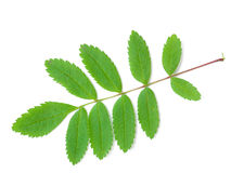 ash leafberg Royaltyfri Foto
