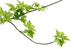 Ash-leaved maple branch Royalty Free Stock Image