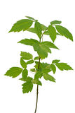 Ash-leaved maple sapling Royalty Free Stock Photos
