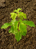 Ash-leaved maple Stock Image