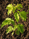 Ash-leaved maple Stock Photos