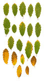 Ash leaves green and yellow Stock Image