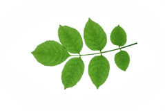 Ash leaves Stock Images