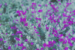 Ash Plant, Barometer Brush, Purple Sage, Texas Ranger Flower , p. Astel color stock images
