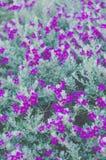 Ash Plant, Barometer Brush, Purple Sage, Texas Ranger Flower , pastel color.  stock photo