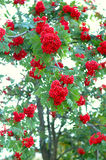 Ash (rowan) tree and ashberry (rowanberry). Stock Image