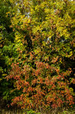 Ash and rowan trees in autumn shower Royalty Free Stock Image